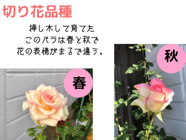 切り花品種