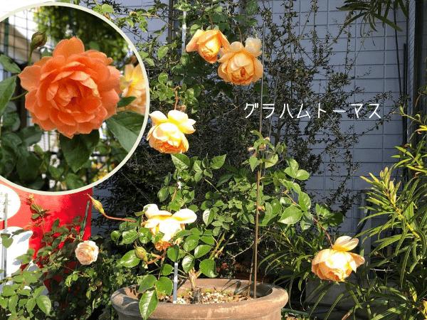 半日陰でも咲くバラグラハムトーマス