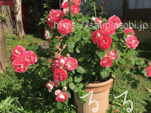 るる コーラルピンクの華やかで可愛いバラ