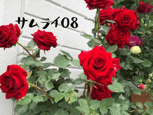 赤バラサムライ08