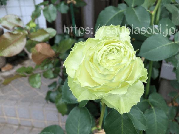 わかな ロサオリエンティスのバラ