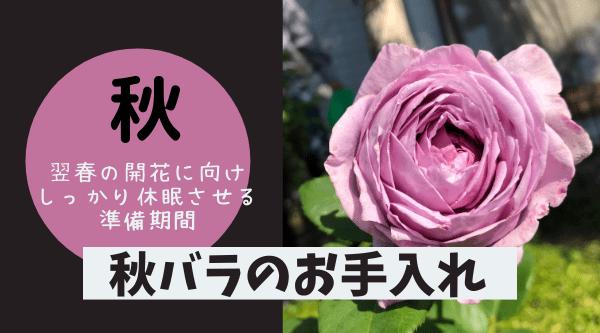 秋バラのお手入れの方法