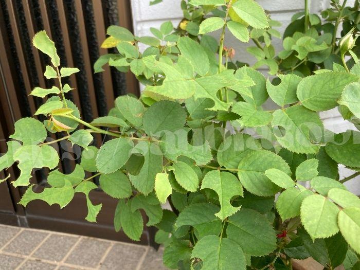 ハキリバチが葉に穴をあけたバラ、ラパン